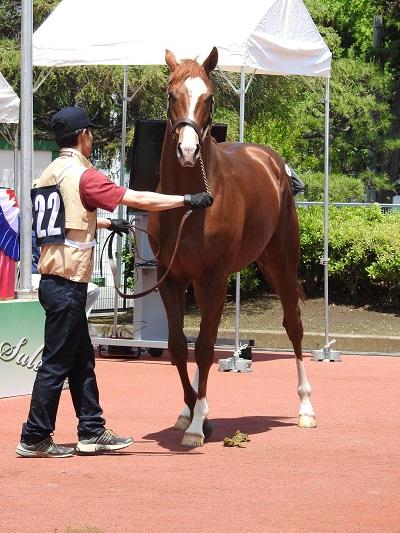 最高値で落札されたダイワメジャー産駒の牡馬